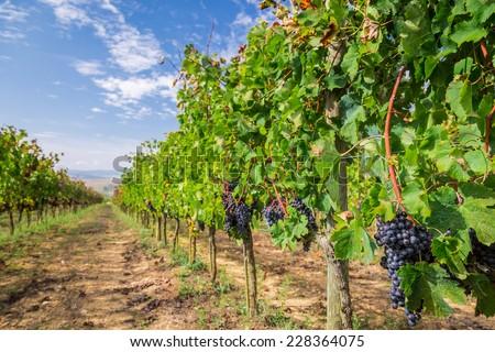 Vineyard full of ripe grapes in Tuscany - stock photo