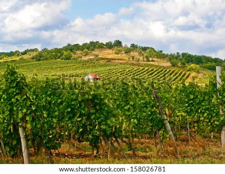 Vineyard House Plant Detail Landscape Tokaj Hungary - stock photo