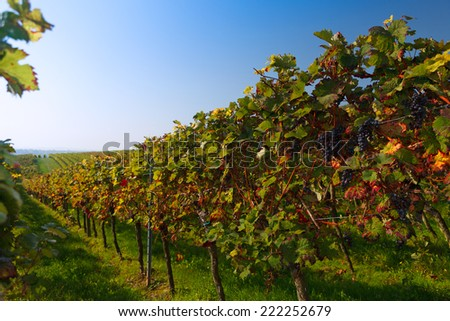 vineyard in autumn colours