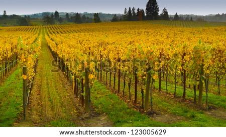 Vineyard in autumn, Napa Valley, California - stock photo
