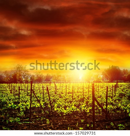 Vineyard in bright yellow sunset light, dramatic skyscape, autumnal nature, agricultural industry, grape produce, viticulture concept - stock photo