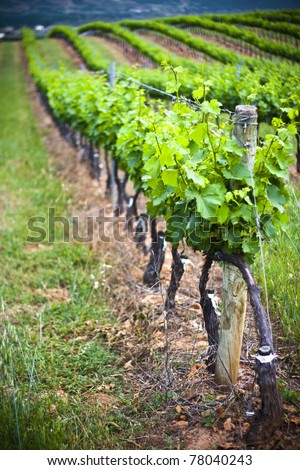 Vineyard in Cacabelos, Leon - stock photo