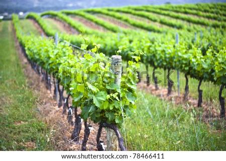 Vineyard in Cacabelos, Leon, Spain - stock photo