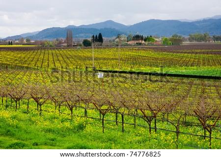 Vineyard in California in Spring - stock photo