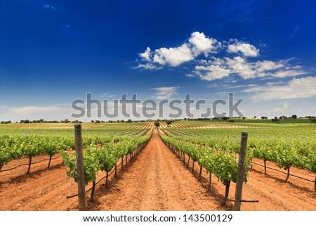 vineyard in Corral de Almaguer, Toledo,Castilla-La Mancha, Spain - stock photo