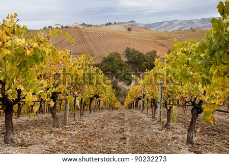 Vineyard in fall - stock photo
