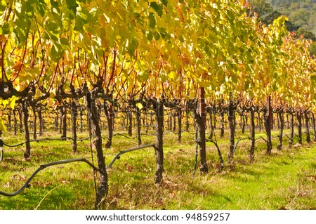Vineyard in Fall - stock photo