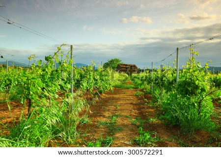 Vineyard in france on sunrise - stock photo