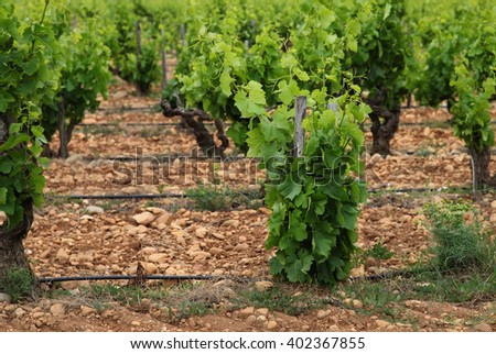 Vineyard in France, Provence - stock photo