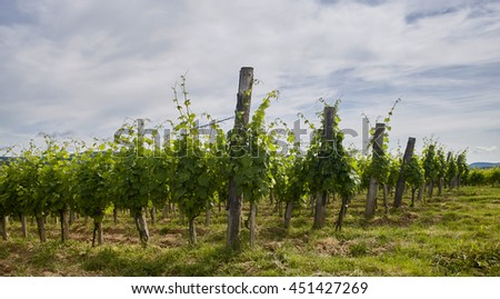 Vineyard in Kutjevo, Croatia