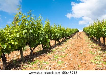 Vineyard in La Rioja - stock photo