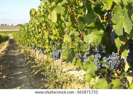 Vineyard in la Rioja before the harvest, Spain. La Rioja, the largest wine producing region in Spain. - stock photo