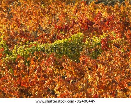 vineyard in La Rioja (Spain) - stock photo