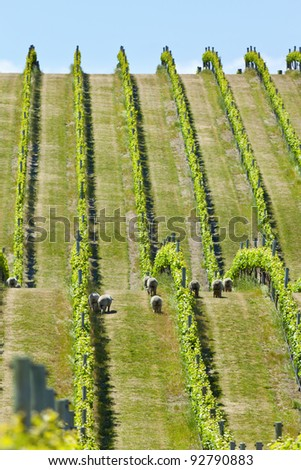 Vineyard in Marlborough wine region in New Zealand - stock photo