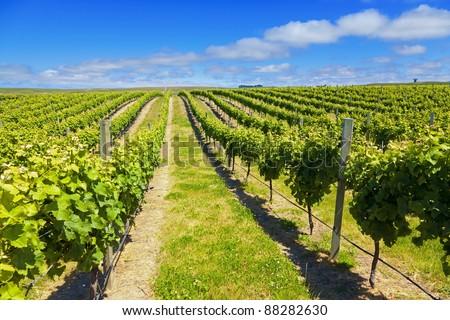 Vineyard in Marlborough wine region of New Zealand - stock photo