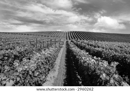 Vineyard in Matakana, New Zealand (check out other shots of this vineyard in my portfolio!) - stock photo