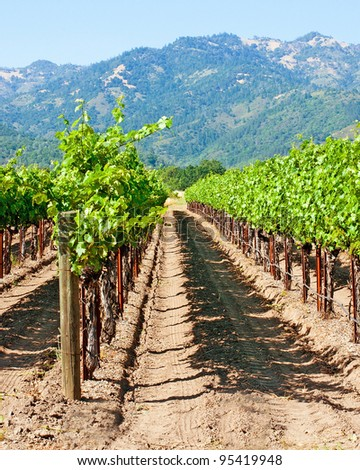 Vineyard in Napa Valley California - stock photo