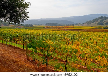 Vineyard in Napa Valley in Autumn - stock photo