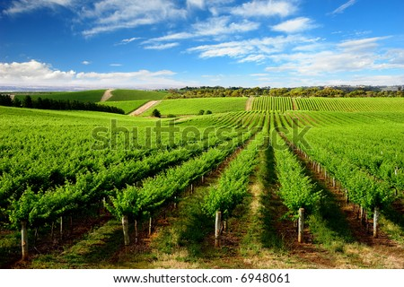Vineyard in One Tree Hill, South Australia