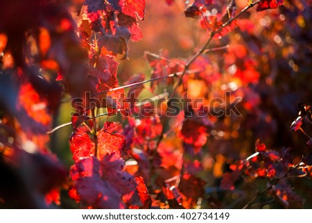 Vineyard in red autumn colors - stock photo