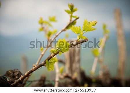 Vineyard in Slovenia in early spring - stock photo