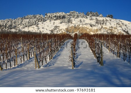 vineyard in snow - stock photo