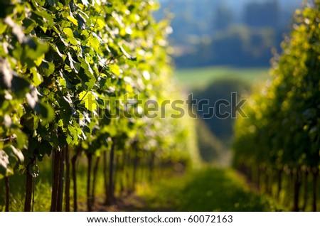 Vineyard in Southwest Germany Rhineland Palatinate in Summer - stock photo