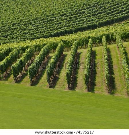 Vineyard in summer. Skalce, Slovenia - stock photo