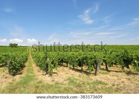 Vineyard in summer time, Hungary - stock photo