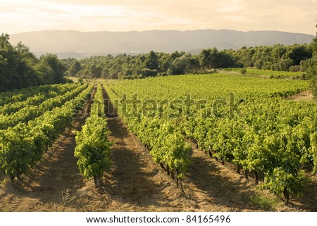 Vineyard in sunset