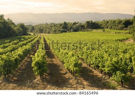 Vineyard in sunset - stock photo