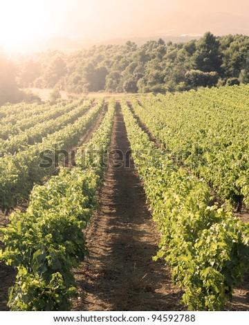 Vineyard in sunset. - stock photo