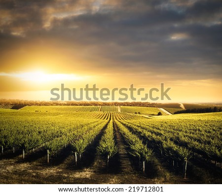 Vineyard in the Adelaide Hills, South Australia - stock photo