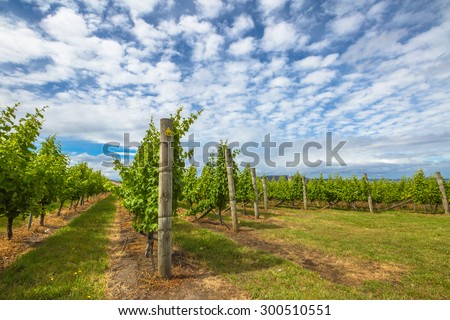 Vineyard in the area between Richmond, Cambridge and Hobart in Tasmania, Australia. - stock photo