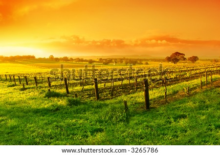 Vineyard in the Barossa Valley - stock photo