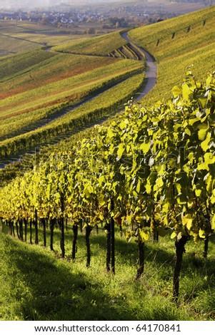 Vineyard in the fall of Stuttgart, Germany - stock photo