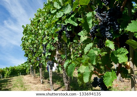 Vineyard in the famous wine making region. Stuttgart capital of the state of Baden-Württemberg Germany. Stuttgart is the only city where wine grapes grown within urban area, Rotenberg, Uhlbach.  - stock photo