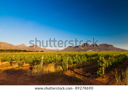 Vineyard in the hills of Stellenbosch in South Africa - stock photo