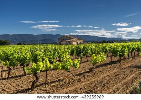 Vineyard in the Luberon Provence - stock photo
