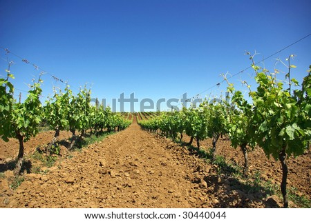 Vineyard in the portuguese field. - stock photo