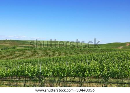 Vineyard in the portuguese field, alentejo region. - stock photo