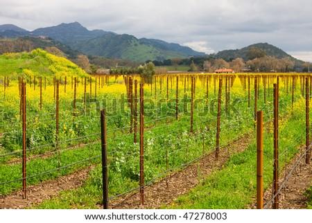 Vineyard in the spring - stock photo