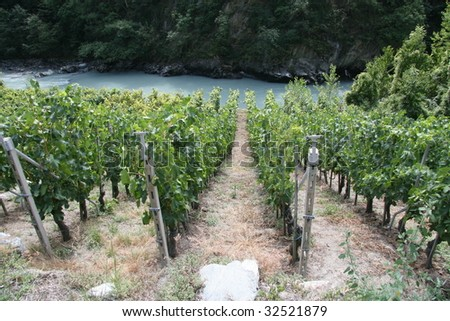 Vineyard in the Valle d'Aosta.. - stock photo