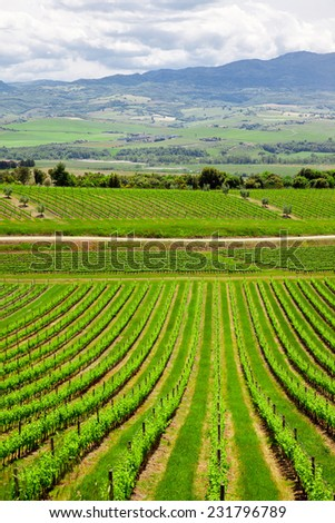 Vineyard in the  Valley San Quirico d Orcia in Tuscany - stock photo