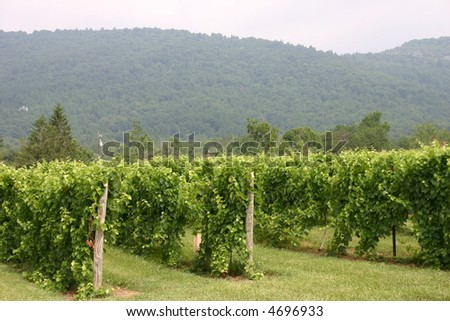 Vineyard in the Virginia Mountains