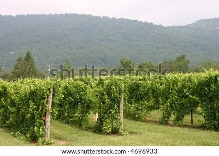 Vineyard in the Virginia Mountains - stock photo