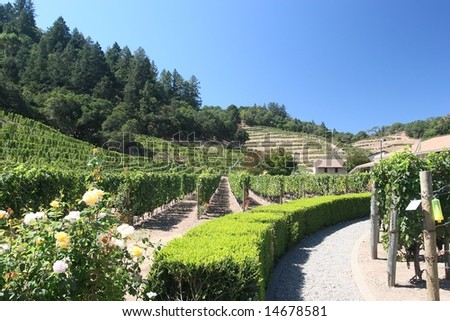 Vineyard in the wine growing region of Napa, California. - stock photo