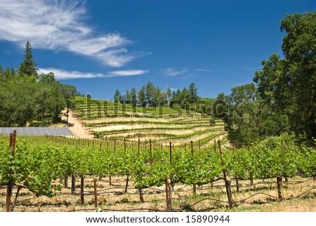 Vineyard in the wine growing region of Napa in California. - stock photo