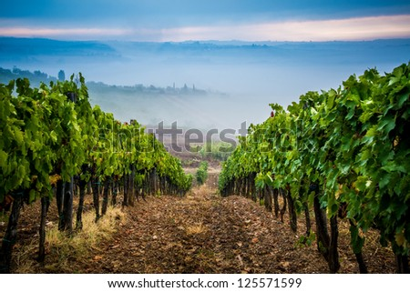 Vineyard in Tuscany - stock photo