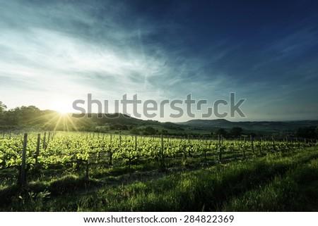 Vineyard in Tuscany, Italy - stock photo